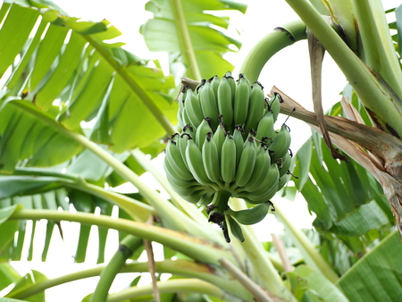 fresh Pisang Awak banana in garden