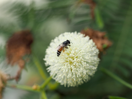 bee and Leucaena flower in a garden 版權商用圖片