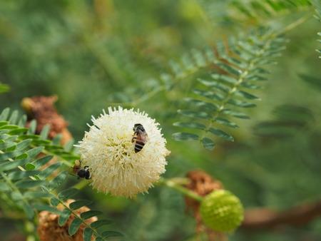 bee and Leucaena flower in a garden Stock Photo