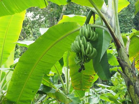 fresh banana on banana tree and banana leaf