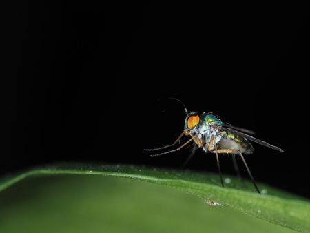 Robber fly on green leaf with black background