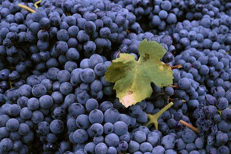 wine trade: Grape Harvest Festival