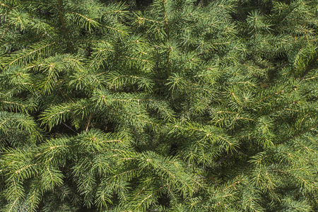 the close range: spruce firs from close range 1 Stock Photo