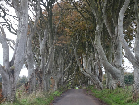 The Dark Hedges - Avenue of Beech trees on the Giants Causeway in the north of Ireland, Europe Stockfoto