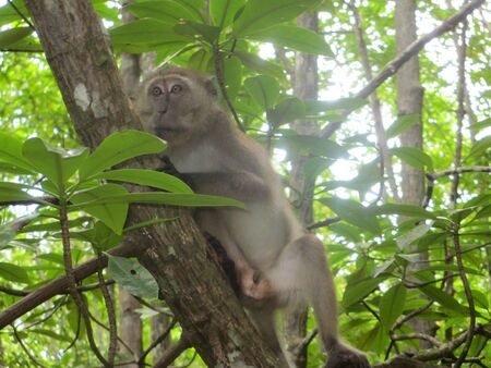 Monkey sitting on tree root in mangrove forest at Koh Lanta, Thailand