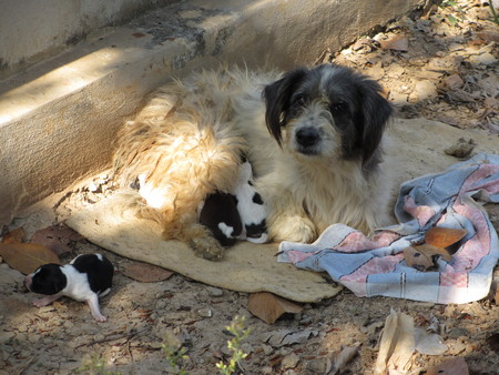 Lovely street dog with her puppies in Thailand