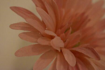 Lovely closeup of a rose-colored flower blossom Фото со стока