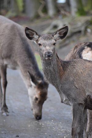 Closeup of a young red deer with his family in a forest in Germany