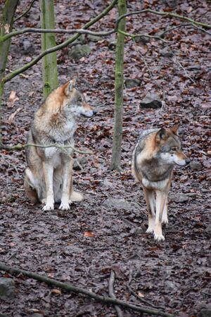 Closeup of two wild wolves in a forest in Germany 版權商用圖片