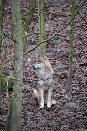 Closeup of a wild wolf in a forest in Germany 版權商用圖片