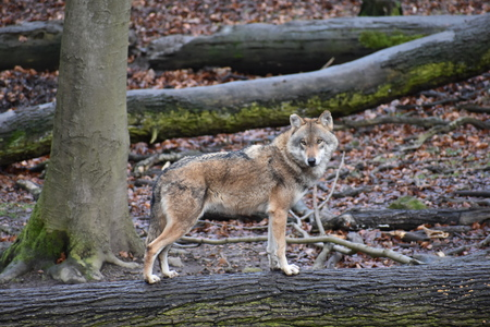 Closeup of a wild wolf on tree trunk in a forest in Germany 版權商用圖片