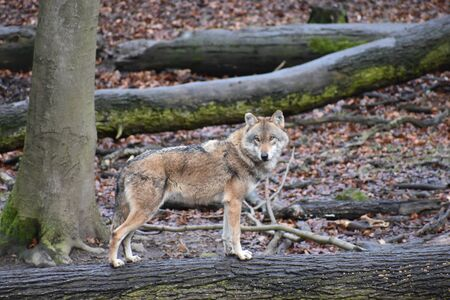 Closeup of a wild wolf on tree trunk in a forest in Germany Stock Photo