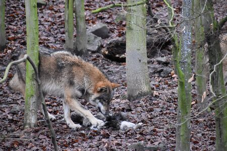 Closeup of a wild wolf eating a bird in a forest in Germany Stock Photo