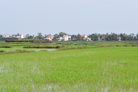 Wonderful scenery of green rice fields at Hoi An in Vietnam, Asia