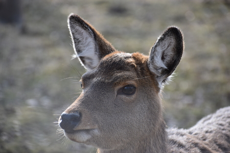 Closeup of a majestic roe deer in a forest in Germany