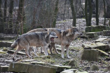 Beautiful closeup of two wild wolves in a forest in Germany