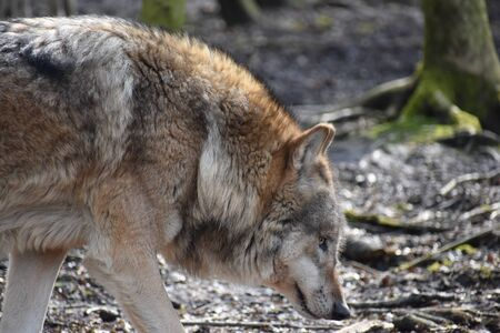 Beautiful closeup of a wild wolf in a forest in Germany