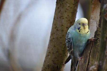 Close-up van een kleine blauwe lichte budgiezitting op een tak in een park in Kassel, Duitsland