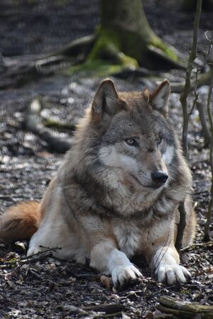 Beautiful portrait of a wild wolf in a forest in Germany