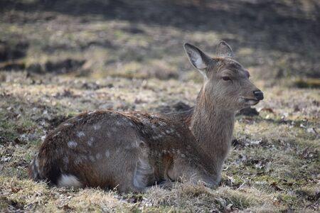 Closeup of a majestic roe deer sitting on a green meadow in a forest in Kassel, Germany