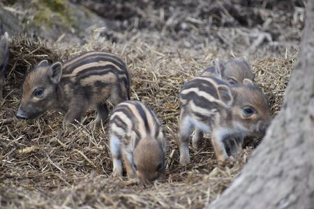 Closeup of cute striped young wild brown boars in a forest in Germany
