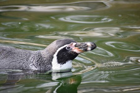 A cute little penguin is swimming in a lake Stock Photo