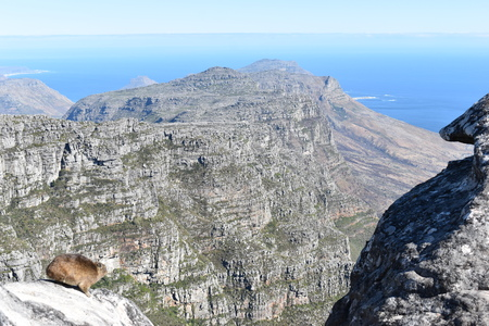 View over Cape Town from the big table Mountain with a funny hyrax in South Africa