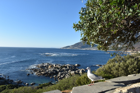 View of the Lions Head with a seagull in front in Cape Town, South Africa Stock Photo