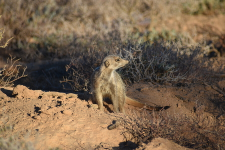 A cute meerkat is sitting in the desert Stock Photo
