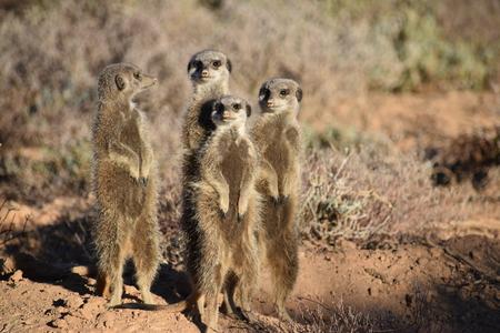 Una linda familia de suricatas en el desierto. Foto de archivo