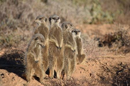 A cute meerkat family in the desert Stock Photo