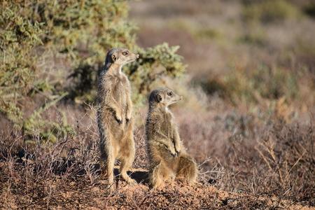 Two cute meerkats hiding in the desert Stock Photo