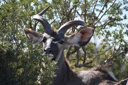 Closeup of a kudu at Addo Elephant Park in Colchester, South Africa