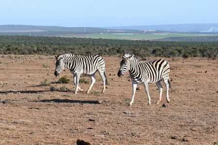 Two beautiful zebras on a meadow in South Africa