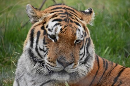 Portrait of a beautiful Siberian Tiger in South Africa 스톡 콘텐츠 - 133415804