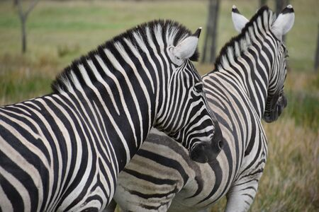 Two beautiful zebras on a meadow in South Africa 스톡 콘텐츠 - 133415880