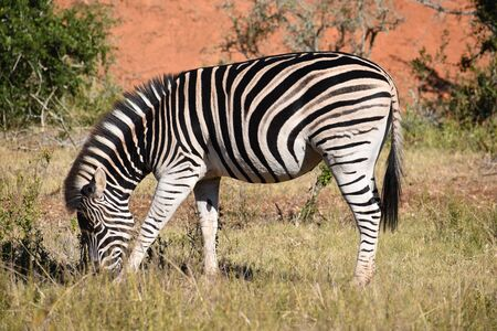 A beautiful zebra on a meadow at Addo Elephant Park in Colchester, South Africa 스톡 콘텐츠