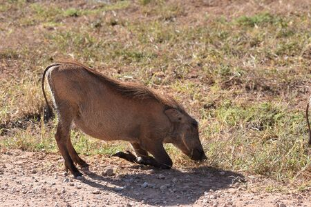 A brown warthog on a meadow at Addo Elephant Park in Colchester, South Africa