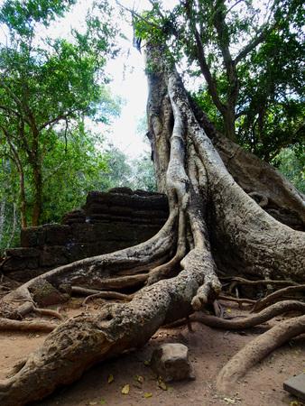 Big tree at Ta Prohm Temple in Siem Reap, Cambodia, Asia