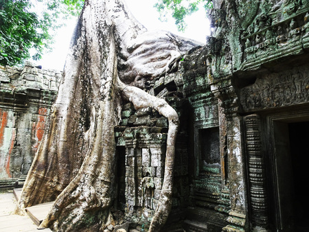 Big tree root on a ruin at Ta Prohm Temple in Siem Reap, Cambodia, Asia