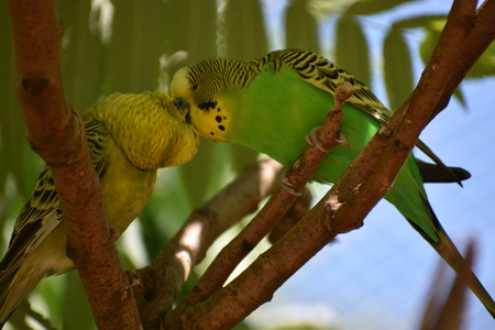 Closeup of two small green kissing budgies sitting on a tree branch