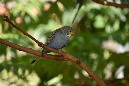 Closeup of a small blue budgie sitting on a tree branch