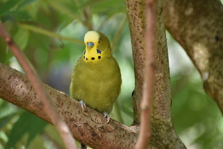 Closeup of a small green budgie sitting on a tree branch
