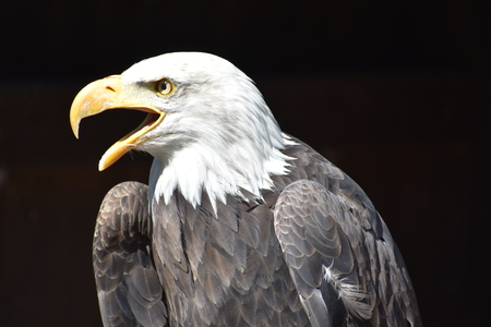 Wonderful majestic portrait of an american bald eagle with a black background Imagens
