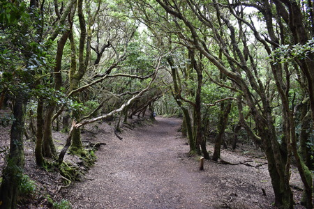 Beautiful laurel forest with many big green mossy trees in the north of Tenerife in the Anaga Mountains