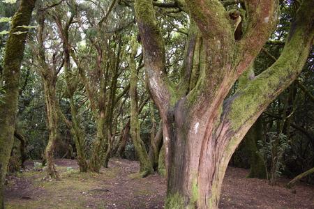 Bella foresta di allori con molti grandi alberi verdi di muschio nel nord di Tenerife nelle montagne di Anaga