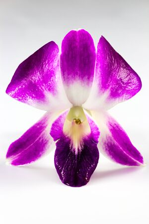Close Up of purple Dendrobium Orchid on white background