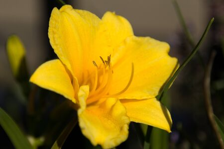 Closeup of yellow Hemerocallis at sunset