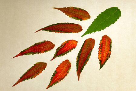 Close up of isolated multicolored leaves on white paper   Concepts   being special forever green young