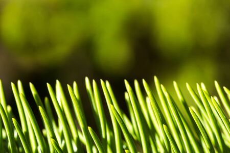 close up of vertical green pine needles Stock Photo - 16007151